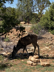 Mule Deer bending down to eat with trees and bushes around it